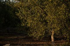 _DSC8955 (Gioporc) Tags: alba campagna pace sole puglia giovanni ulivi mattino molfetta porcelli gioporc