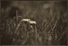 The couple (flintz69) Tags: flowers white flower nature grass daisies vintage nikon dof fx d3000