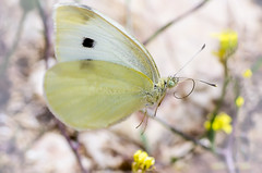 Pieris Brassicae flying (GeoTsia) Tags: macro butterfly insect lepidoptera pieris cabbagewhite cabbagebutterfly pieridae pierisbrassicae