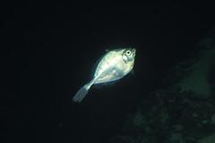 Deep water fish (ianc7777) Tags: leica sony submarine stanley karl roatan exploration institue deepsea idabel trielmar a7rii