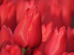 Red (peeteninge) Tags: red nature outside natuur tulip rood buiten tulp bollenveld