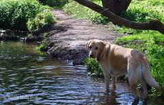 Cool Off Time (sopwell287) Tags: dog water river golden nikon labrador outdoor gundog d60 riverbrain unlimitedphotos