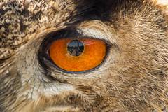 IMG_0426.jpg (blubberli) Tags: tessin ticino spiegelung auge uhu falknerei frhling selfie falconerialocarno frhlingsferien
