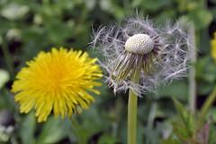 Lwenzahn - Pusteblume (borntobewild1946) Tags: flower blossom nrw blume blte nordrheinwestfalen rheinland niederrhein lwenzahn pusteblume copyrightbyberndloosborntobewild1946 lwenzahnpusteblumeeinepflanzezweigesichter