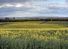 Canola near Winchester, Hampshire (neilalderney123) Tags: landscape farm olympus hampshire winchester canola omd rapeseed 2016neilhoward