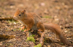 DSC_0688-1 (Romeoliverpool) Tags: red animals forest squirrels formby