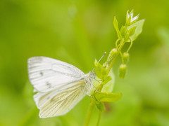 Butterfly pieris rapae stellaria media herb (Francesco Ganzetti) Tags: flower macro green nature beautiful grass composition butterfly insect countryside perfect flickr natural bokeh olympus commercial manual marche natures 135mm samyang naturemasterclass