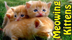 Three Week Old Kittens Meowing for Mama (youtube.com/utahactor) Tags: blue cats cute ginger video eyes adorable kittens whiskers phoebe zeus gato gata hd subscribe youtube meowing