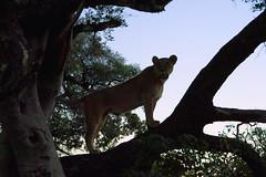 Emergence (oldoinyo) Tags: africa trees safari predator lioness okavango vigilant arboreal pantheraleo
