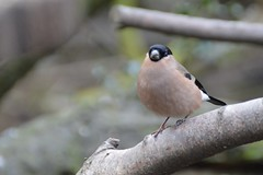 Female Bullfinch (Ginzal) Tags: bird female garden bullfinch pyrrhula lightbrown
