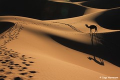 IMG_4462 - walking (Herrmaennchen) Tags: world africa morning travel light shadow sun sunrise canon walking sand desert northafrica outdoor tracks sigma camel morocco maghreb marokko ergchegaga