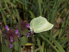 Zitronenfalter [ Common brimstone ] [ Citronfjril ] ( Gonepteryx rhamni ) (ritschif) Tags: butterfly zitronenfalter gonepteryxrhamni citronfjril tagfalter commonbrimstone dagfjrilar