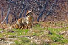 Female Eastern Coyote (swingaweigh) Tags: coyote canine coyotes canines wildcanines easterncoyote wildcanine easterncoyotes