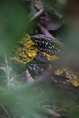 Little Lizard (baris.lorenzo) Tags: wood plants verde green nature animals foglie focus natura lizard animali bosco lucertola rettile 210mm