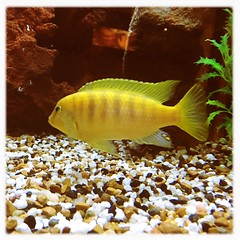Yellow Fish (Lul De Panbehchi  Photographist) Tags: fish pez yellow aquarium amarillo acuario