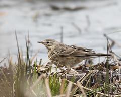 American Pipit (J.B. Churchill) Tags: birds us unitedstates maryland places garrett frostburg taxonomy pineyreservoir
