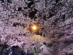 IMGP0127_1 (tetsu_m_320i) Tags: japan night sakura fullbloom
