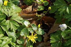 Buschwindrschen - 11-2016_Web (berni.radke) Tags: flower anemone bloom wald ranunculaceae bloosom buschwindrschen anemonenemorosa windflower blhen windrschen forestflowers hahnenfusgewchse