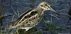 Jack Snipe (Lymnocryptes minimus). (Sandra Standbridge.) Tags: bird water animal outdoor elusive grassland jacksnipe lymnocryptesminimus wildandfree