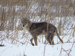 Coyote Hunting in the Grassland at Metzger Farm Open Space, Colorado (nature80020) Tags: coyote nature rodent colorado eating wildlife metzgerfarmopenspace
