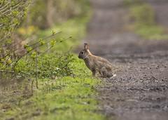 Little Rabbit (Margaret S.S) Tags: wild rabbit bunny european common oryctolagus cuniculus