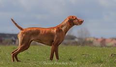 The Stalk Is On (Steven Peachey) Tags: dog game field canon point outdoors pointer working vizsla farmland hungarian workingdog hungarianvizsla tamron70300mm lightroom5 canon7dmarkii stevenpeachey