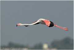Greater Flamingo (Aravind Venkatraman) Tags: bird birds canon flamingo greater dslr aravind chennai greaterflamingo phoenicopterusroseus birder pulicat 2016 birdphotography phoenicopterus roseus birdsofindia indianbirds birdphotographer canon500mmf4 canon14tc canon1dmkiv chennaibirding birdsofchennai aravindvenkatraman avfotography chennaibirder