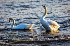 Kyhmyjoutsenia (Tuomo Lindfors) Tags: sea bird water suomi finland helsinki clarity dxo meri suomenlinna vesi sveaborg muteswan lintu kyhmyjoutsen topazlabs filmpack