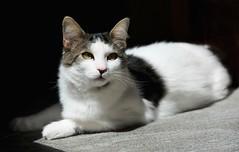 light (Silvia Bertuzzi) Tags: cats cat gatto lucieombre contrasto