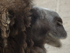 Bactrian Camel (eileenmak) Tags: camel calgaryzoo bactriancamel