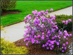 Flower Bush In Springtime - Photo Taken by SYEVEN CHATEAUNEUF On May 1, 2015 (snc145) Tags: flowers brown green texture nature colors beautiful grass photo spring colorful pretty seasons purple bright pavement gray lawn vivid soe bold flowerbush stevenchateauneuf may12015