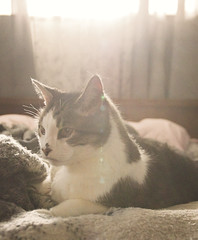 Morning Light (Captured by AMK) Tags: cats pets cat feline felines petphotography