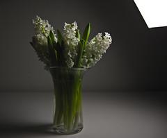 IMG_9445 hyacinth light (tonyanthonye) Tags: hyacinth tonyanthony tonyanthonye