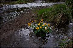 la rivire Doller - Vosges (JJ_Rey) Tags: flowers color digital fleurs river spring nikon rivire moutains source vosges montagnes nikkorlens doller d700