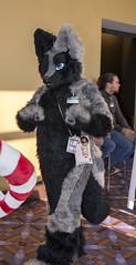 _DSC9558 (Acrufox) Tags: midwest furfest 2015 furry convention december hyatt regency ohare rosemont chicago illinois acrufox fursuit fursuiting mff2015