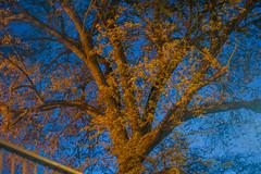 Streetlit Tree (Gerry Lynch) Tags: trees england unitedkingdom gb salisbury bluehour streetlit
