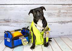What's getting fixed mum? (goodgirlbetty) Tags: portrait dog pet vet rocky dressup fixed staffy amstaff spade stafford neuter