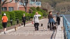 Dog Walking, Edgewater, New Jersey (jag9889) Tags: people usa dog animal newjersey unitedstates outdoor unitedstatesofamerica nj walkway creature edgewater gardenstate dogwalking 2016 bergencounty 07020 zip07020 hrww jag9889 20160421