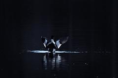 Dancing in the dark (gallserud) Tags: bird goldeneye knipa schellente