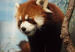 That is one cute face!! (Kim's Pics :)) Tags: cute animal mammal furry colorful winnipeg ngc fluffy manitoba whiskers npc redpanda catlike assiniboineparkzoo lookslikeateddybear