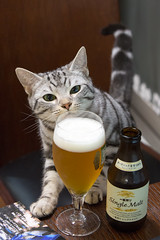 Rascal, you are too young for beer... (nakajimalassie) Tags: beer rascal japan cat tokyo camera:make=canon exif:make=canon nakajimalassie exif:focallength=70mm exif:lens=ef70200mmf28lisiiusm exif:aperture=63 exif:model=canoneos5dmarkiii camera:model=canoneos5dmarkiii exif:isospeed=2500