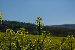Rapsblte (ute_hartmann) Tags: landwirtschaft feld raps rapsfeld lippoldsberg