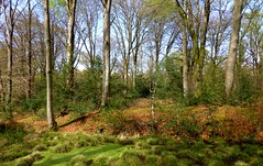 New Forest NP, Hampshire, England (east med wanderer) Tags: uk england forest woodland nationalpark spring hampshire holly beech lyndhurst neweforestnationalpark