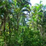 Jamaica: more palm trees.. (Cranbrook Forest Park / Ocho Rios) thumbnail