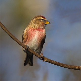 Lesser Redpoll (Explored 11-01-16)