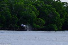 Wild Dolphin jumping in Everglades-2015-12-21 10.15.38 (Brian Eagar Nature Photography) Tags: nature water animal jump december fuji florida dolphin everglades 2015 xt1 xf55200 fujixf55200