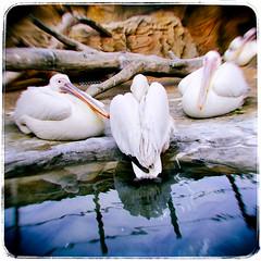 Pelicans (jarjarbinks_2013) Tags: leicam4 film sunshineaquarium sunshinecity worldimportmartbuilding ikebukuro tokyo japan pelicans birds
