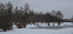 Tree Farm_8926 (Porch Dog) Tags: winter cold ice kentucky january slough cypresstrees treefarm 2016 garywhittington nikon18300mm nikond7000