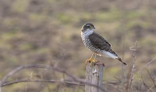 Sparrowhawk (Accipter nisus)