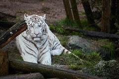 Japur - Tigre blanc (jordanc_pictures) Tags: animal animals zoo tiger tigre whitetiger japur tigreblanc zoodamnville